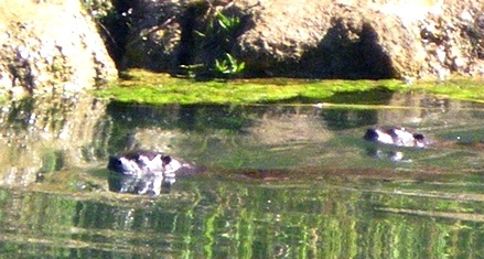 Otter fleeing in terror