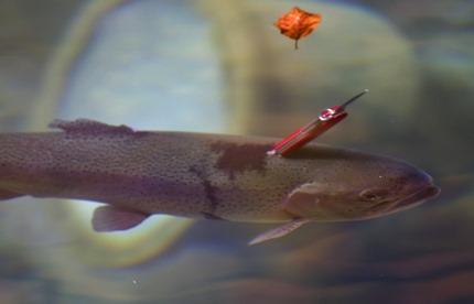 swissarmy_trout430