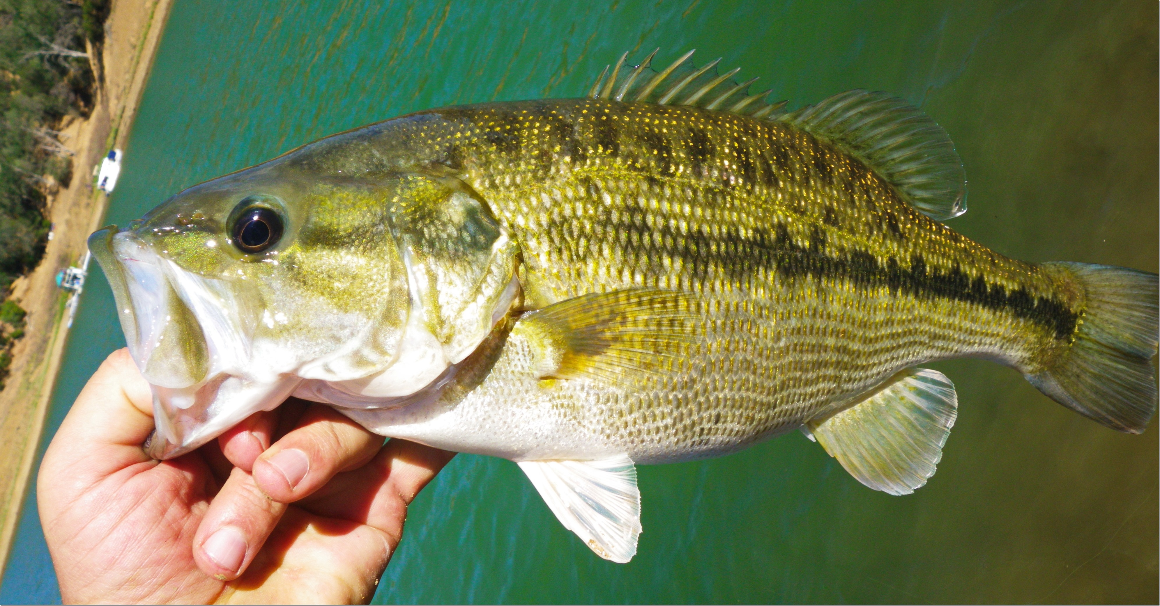 Bass fishing singlebarbed for Bass fish pictures
